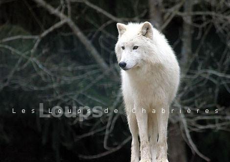 Loup de chabrieres
